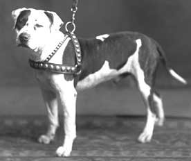 History Of The American Staffordshire Terrier